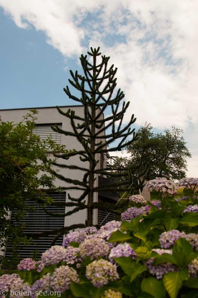 колючее дерево, Лихтенштейн