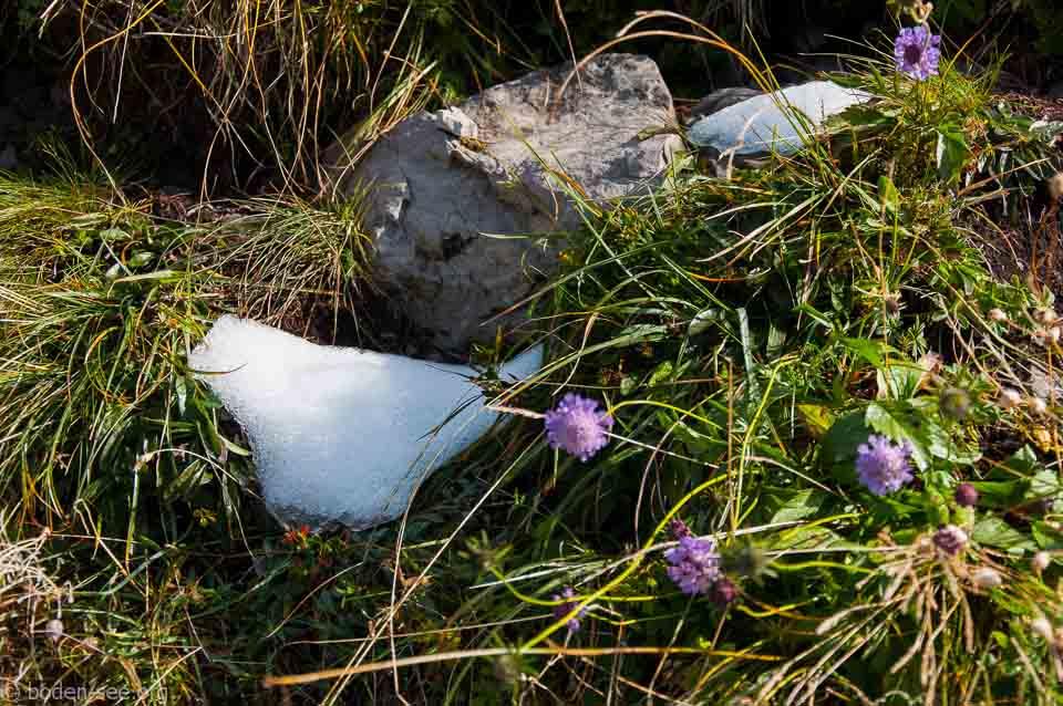 Суровые альпийски цветочки не боятся снега