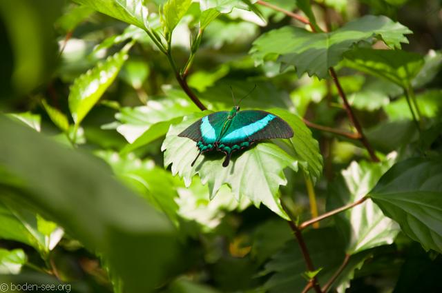 Дом бабочек, Майнау