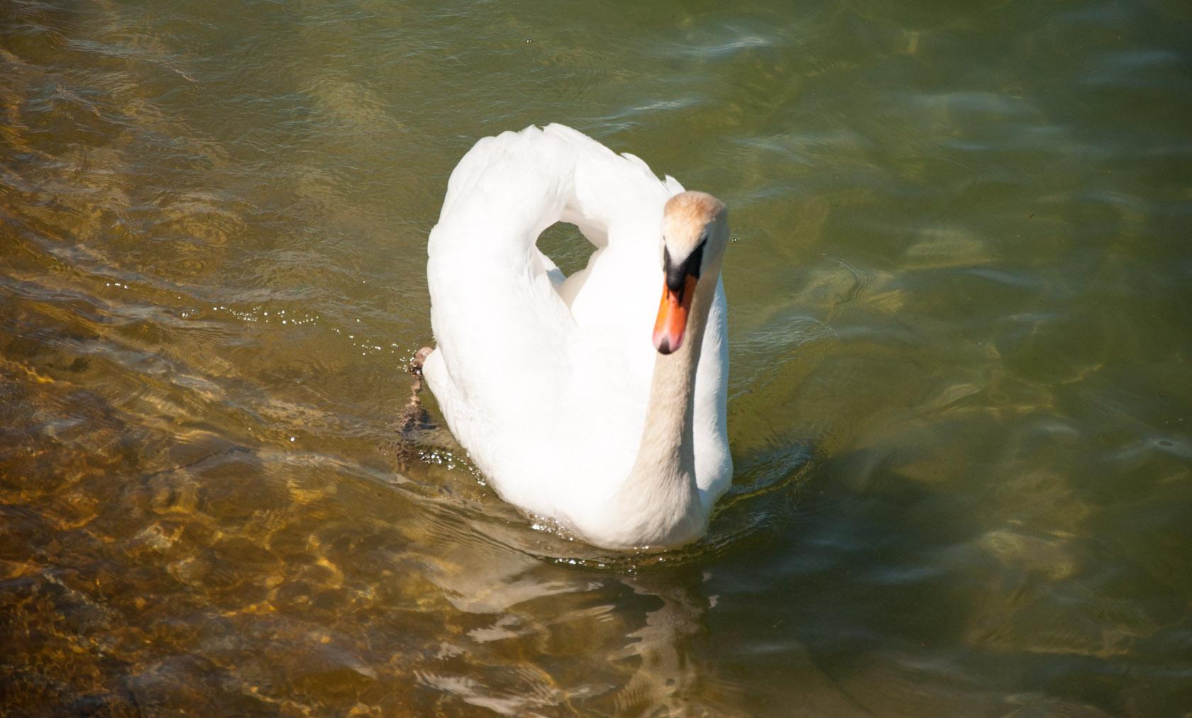 Белый лебедь, Боденское озеро